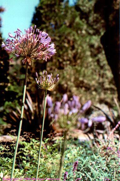 [Big Sur Flowers]