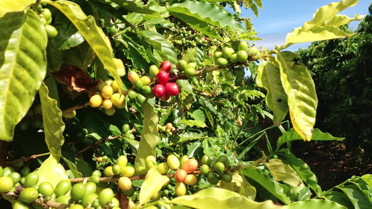 [Coffee Beans - Coffees of Hawai'i Plantation]