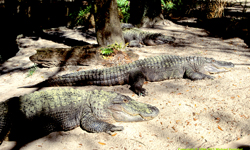 [Florida Gator]