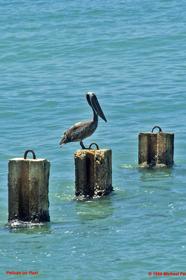 [Pelican Family]