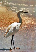 [Snowy Egret]