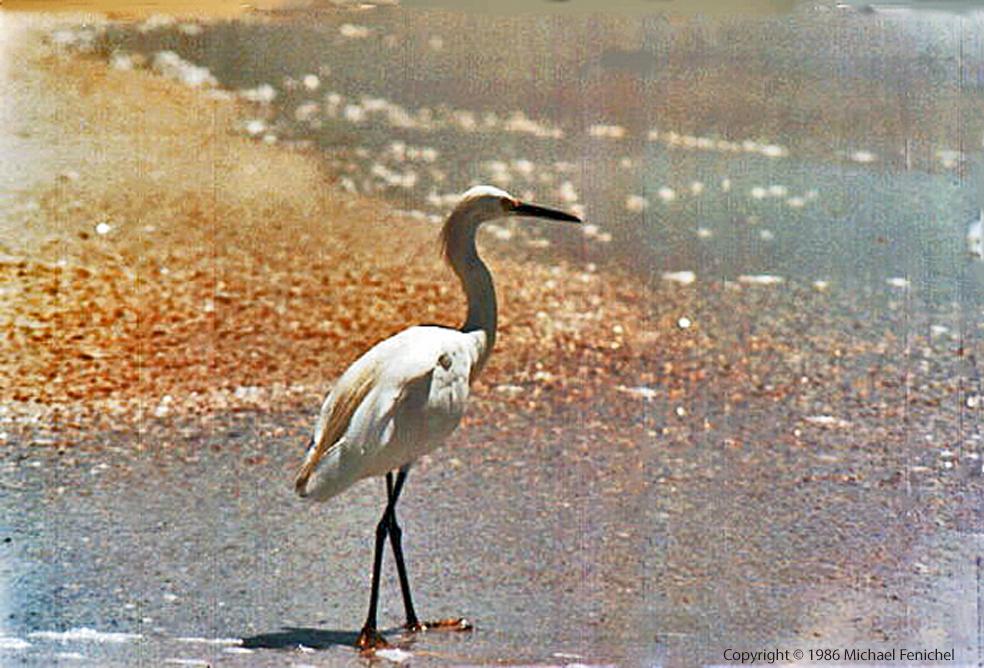 [White Egret]