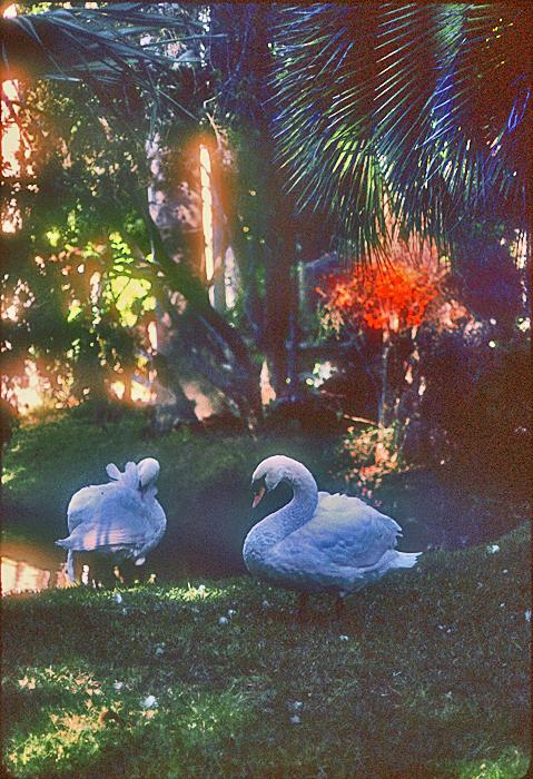 [White Swans]