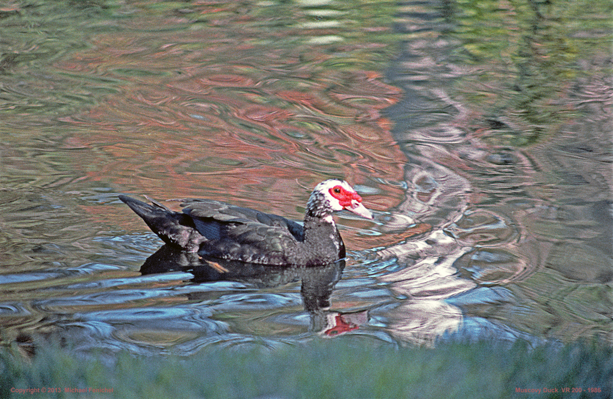 Photography by Fenichel: Muscovy Duck