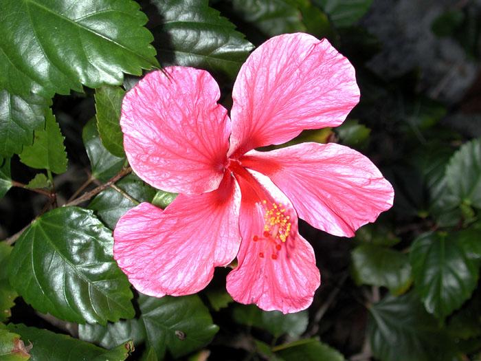 [Pink Hibiscus]