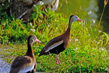 [Black-bellied Whistling-Duck]