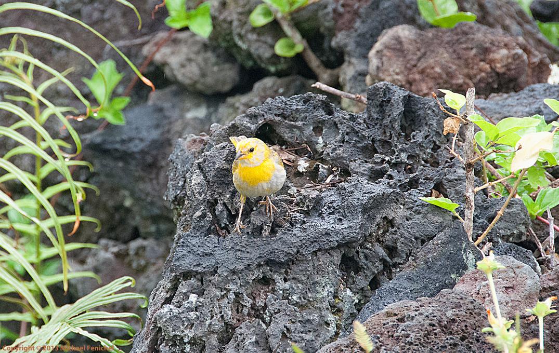 [Juvenile Saffron Finch]