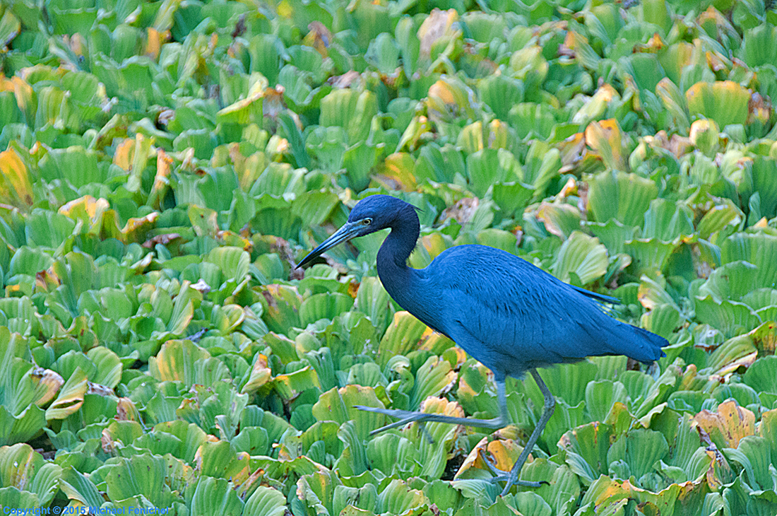 [Little Blue Heron on Water Lettuce]