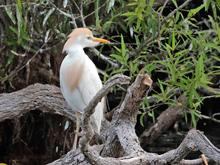 [Cattle Egret