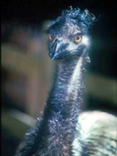 [Emu]