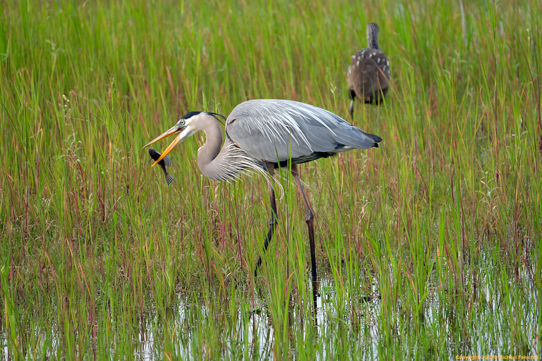 [Great Blue Heron with Fish Dinner]