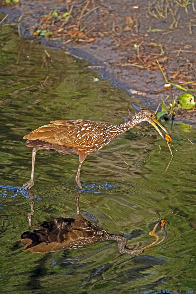 [Limpkin and Escargot Dinner]