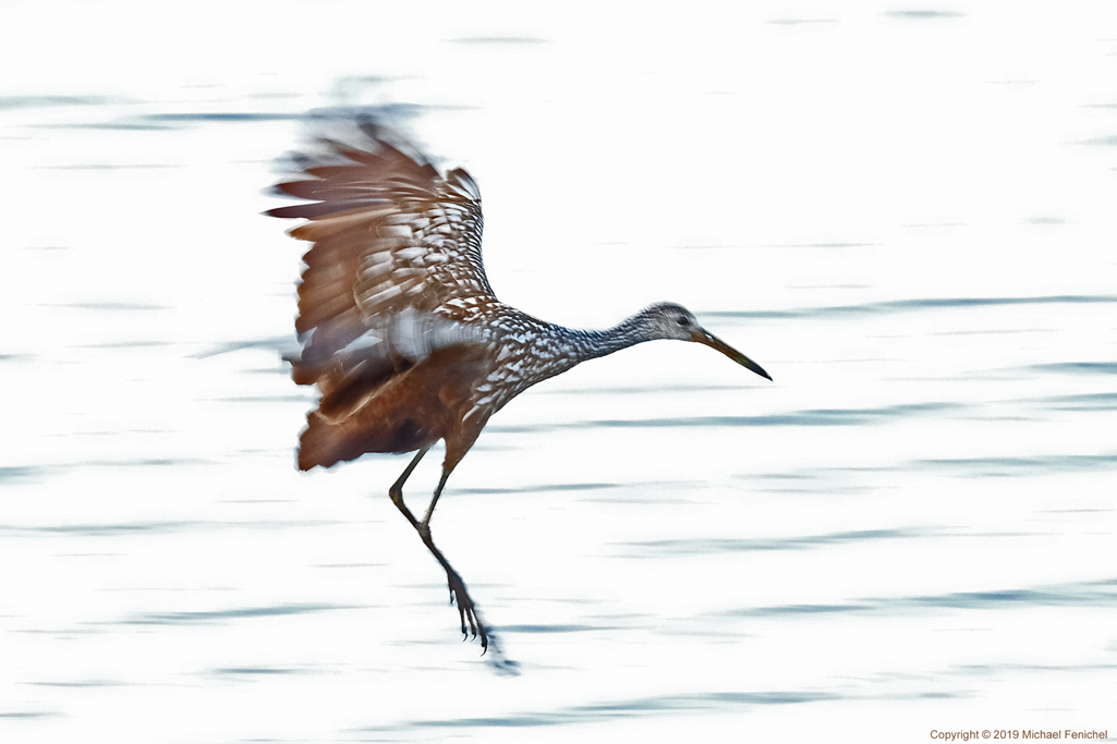 [Limpkin in Flight]