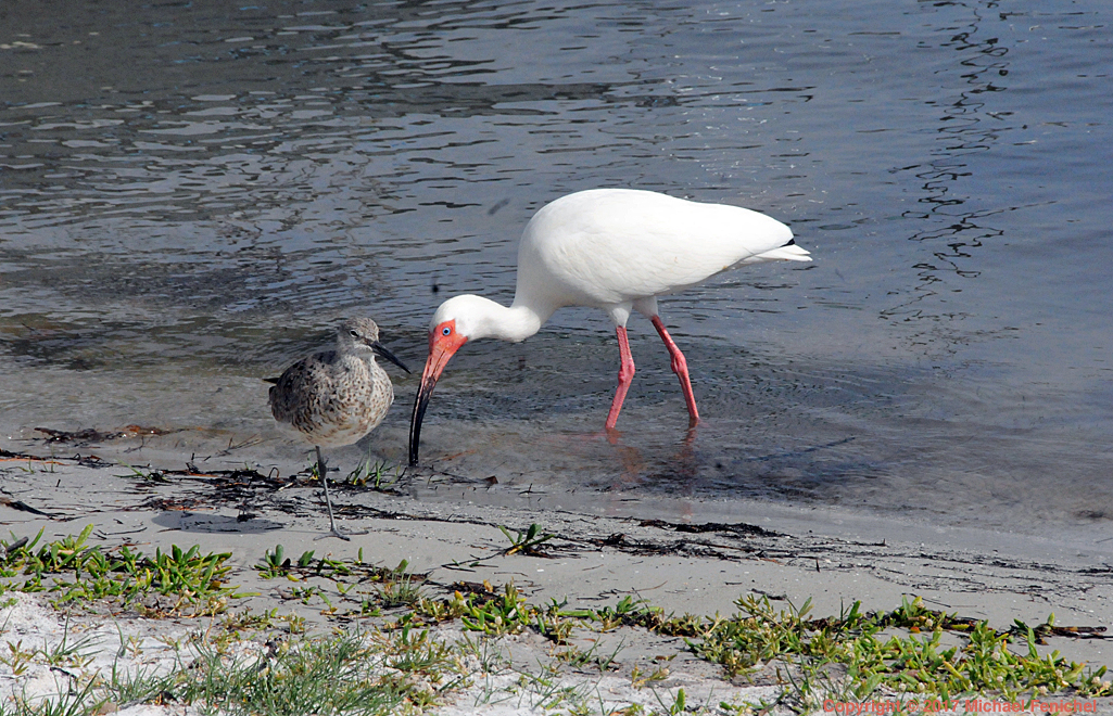 [Red Knot and White Ibis]
