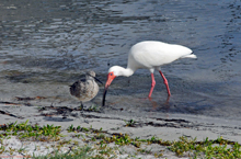 [Red Knot & White Ibis]