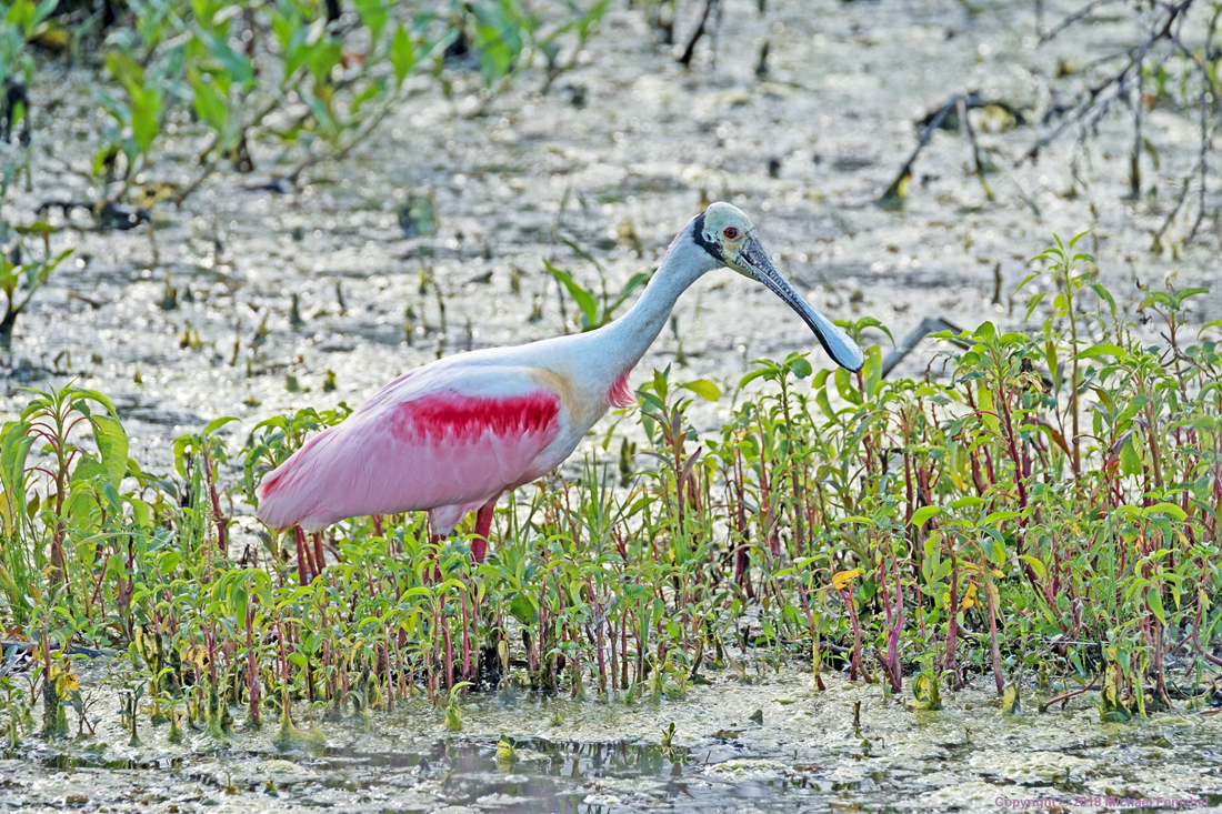 [Roseate Spoonbill - Front Colors]