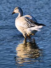 [Snow Goose]