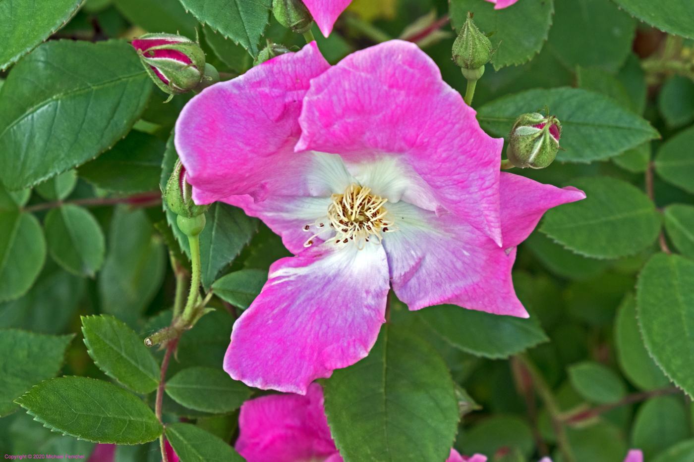 [Wild Rose]