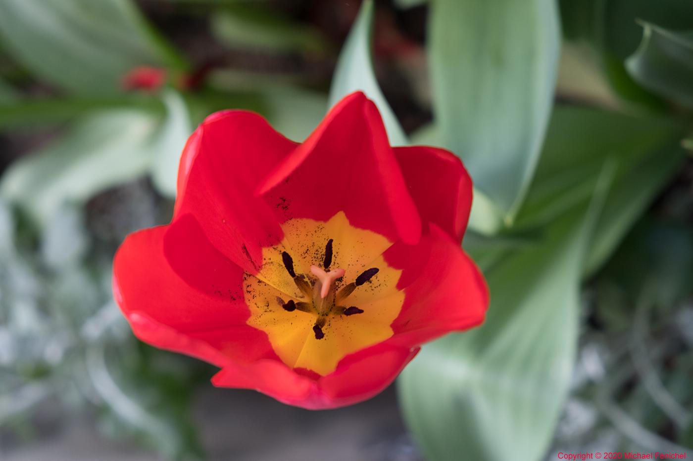 [Red-Yellow Tulip]