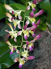 [Purple, Dendrobium Orchid]