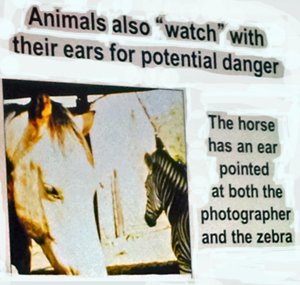 Animals Watch with their ears