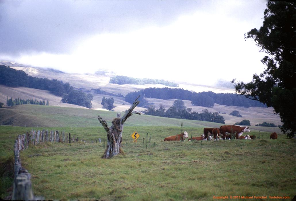 [Cows Near Haleakala]