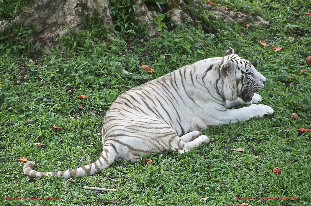 [Namaste the White Tiger]