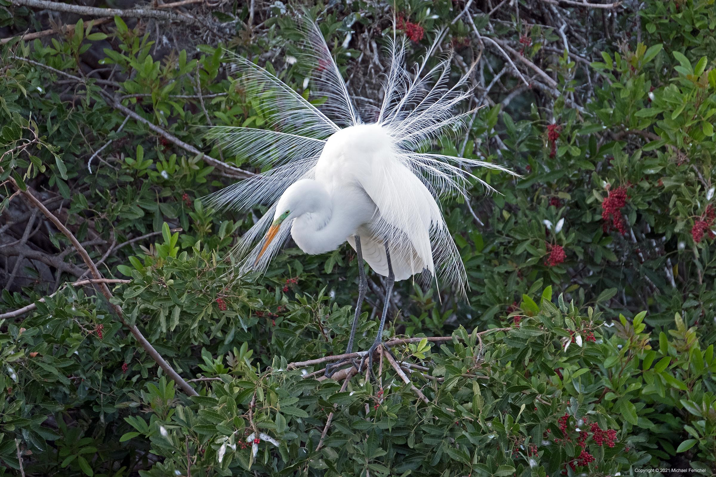 [Adult Breeding Great Egret]