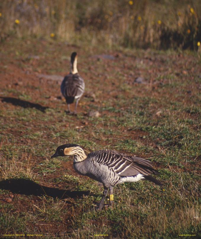 [Hawaiian Nene Goose]