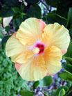 [Peach Hibiscus]