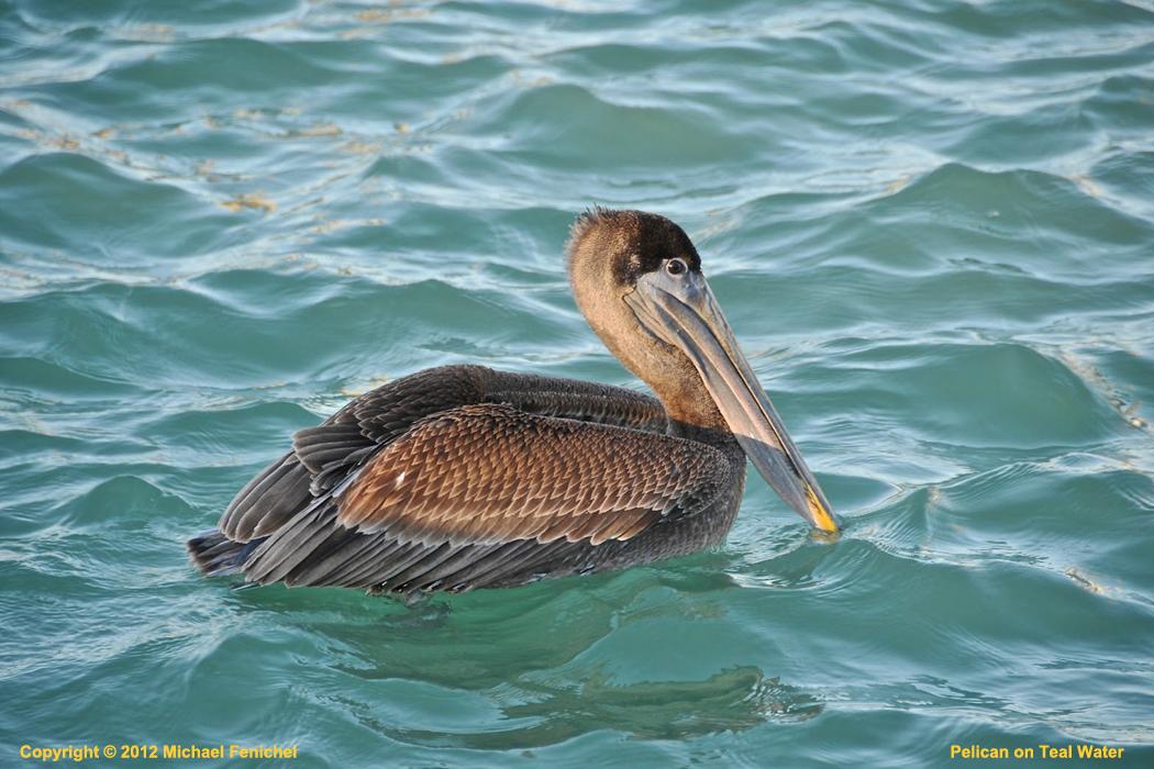 [Pelican on Teal Water]