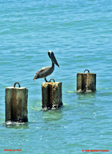 [Pelican on Post at Docks]