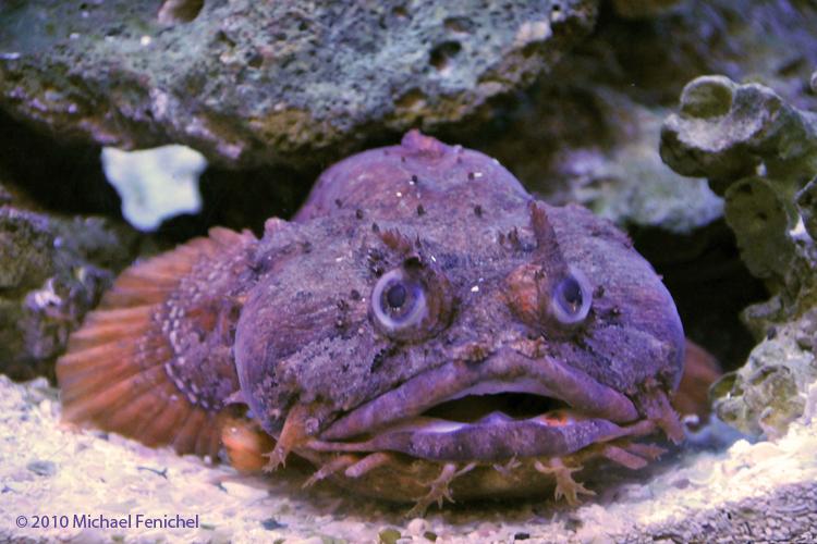 [Orange Toadfish]