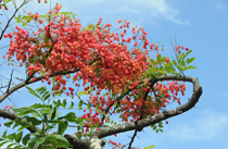 [Hilo Rainforest - Flowering tree in sun]