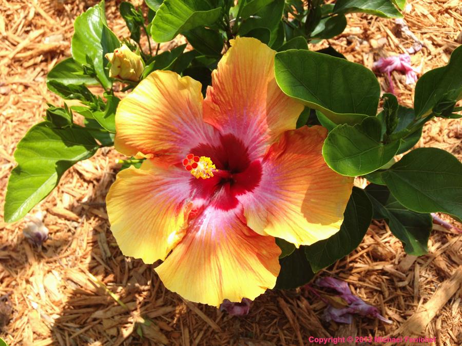 Tricolor Hibiscus