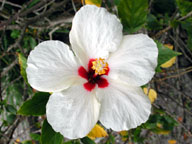 [White Hibiscus]